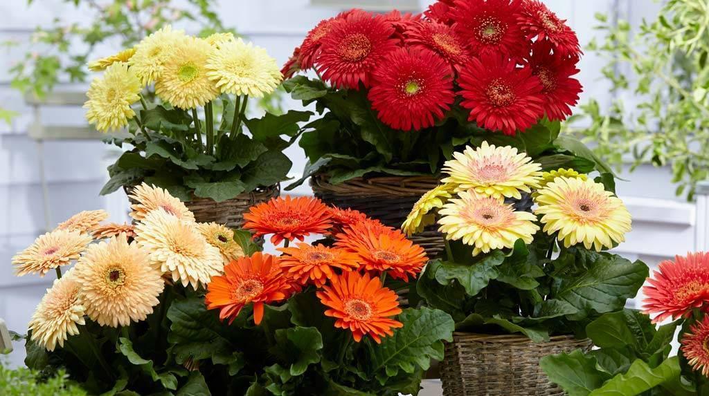 Красавица-цветок гербера из семян! посадка и уход в домашних условиях
