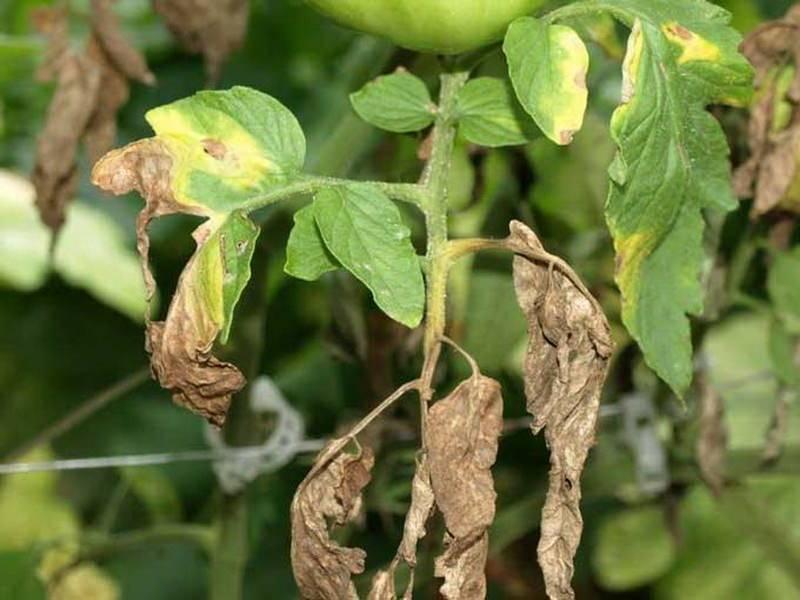 Фузариоз томатов: эффективные меры борьбы
