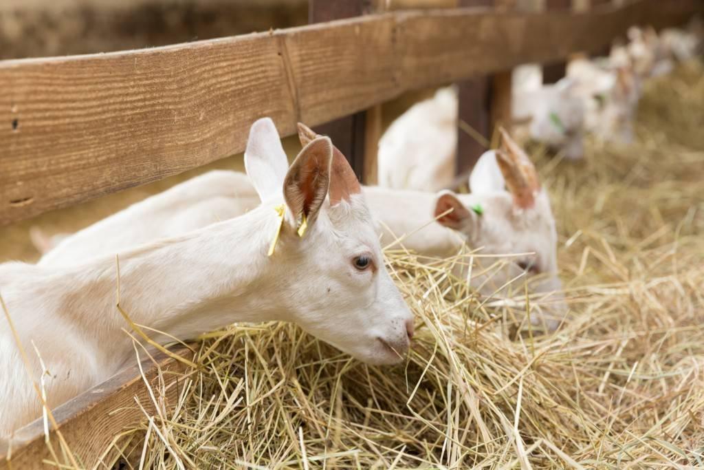 Понос у козы: что делать в домашних условиях при диарее?