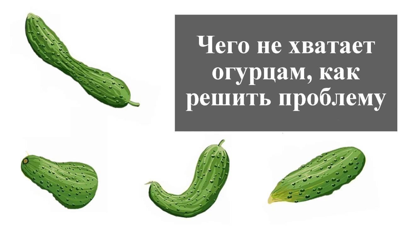 Почему огурцы растут крючком в теплице и в открытом грунте