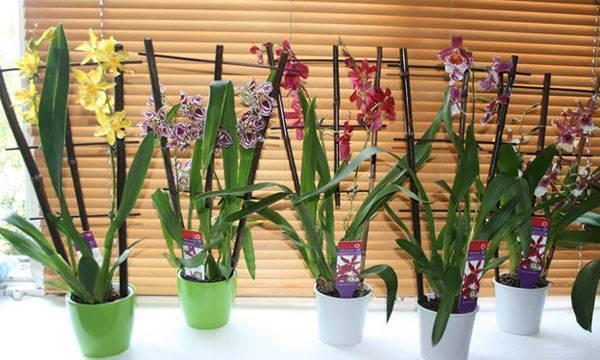 Особенности ухода за орхидеей камбрией
