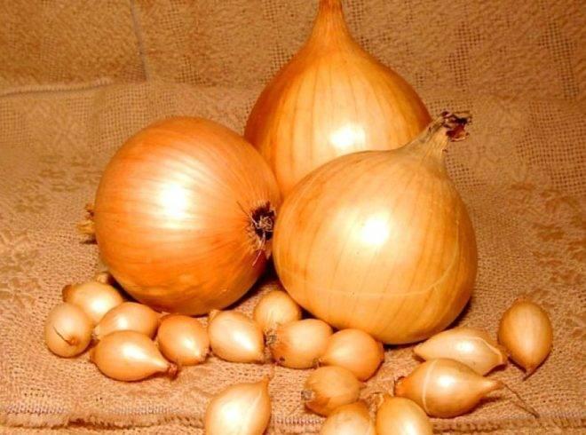 Выращиваем лук стурон – сочный голландский сорт