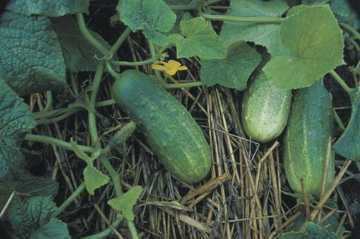 Раскрываем все «секреты» огурцов луховицких: характеристика и описание, особенности выращивания