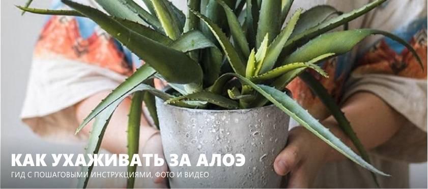 Как посадить алоэ: советы для начинающих цветоводов - sadovnikam.ru