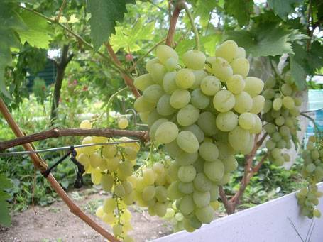 Молодой и ранний виноград галия: описание сорта