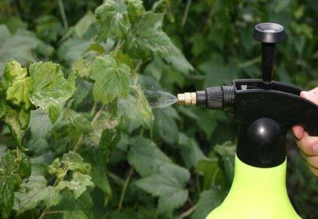 Обработка смородины осенью от вредителей и болезней, советы