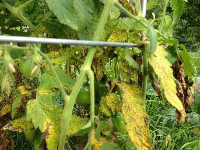 Желтеют листья у рассады томатов – что делать в первую очередь