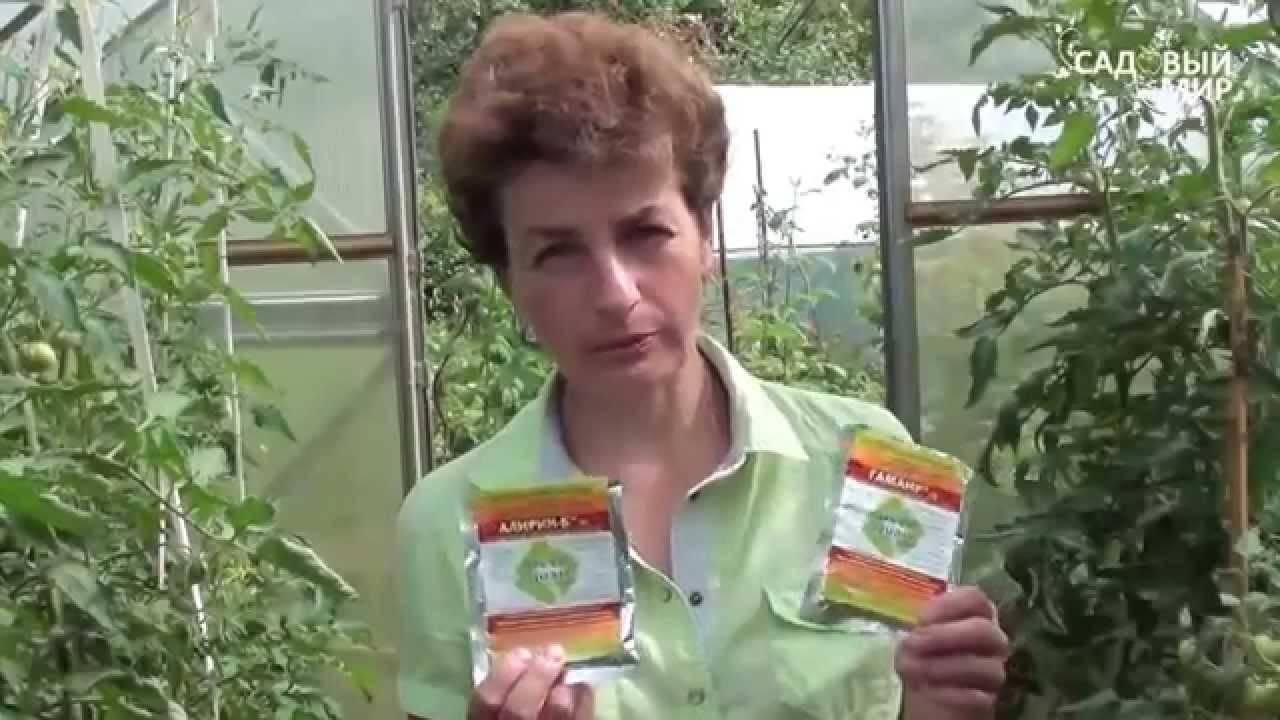 Болезни помидоров в теплице и борьба с ними – советы с фотографиями