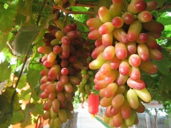 Виноград маникюр фингер: краткое описание сорта, краткая характеристика, особенности выращивания