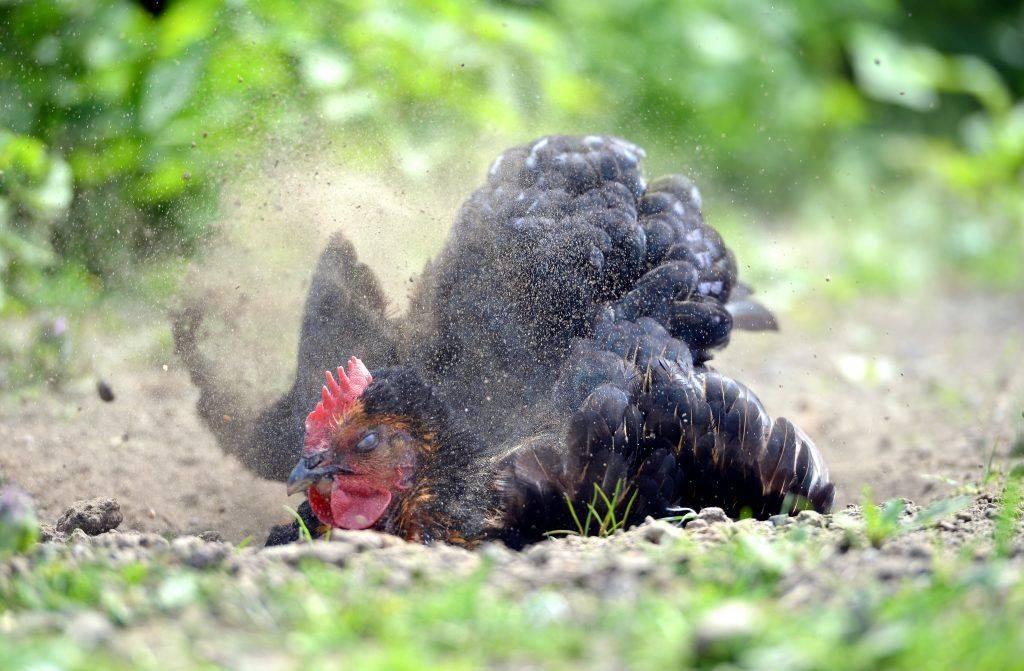 Куриный клещ: как избавиться и чем обработать курятник? лечение в домашних условиях и действенные средства