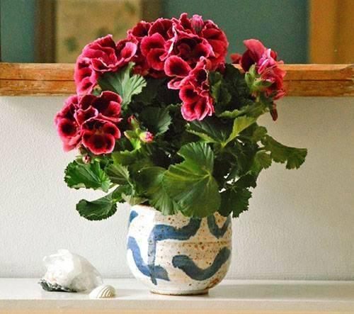 Почему комнатная герань не цветет а дает листву в домашних условиях: причины, что делать?