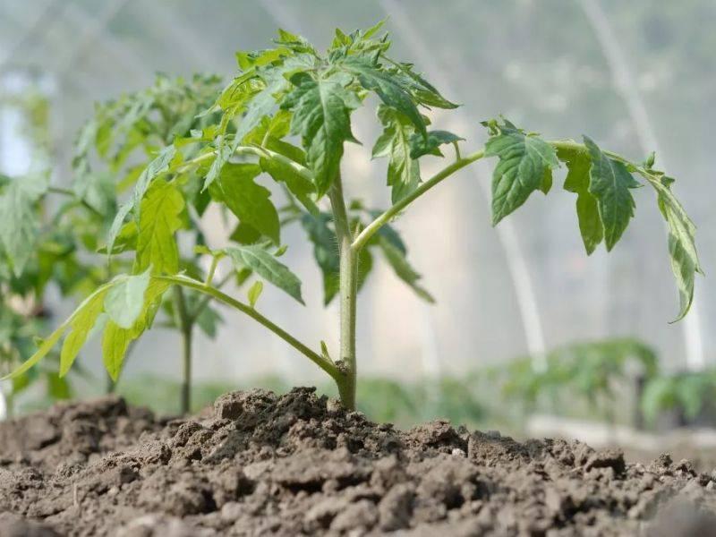 Внекорневая подкормка томатов: что это такое и какие способы удобрения рассады существуют? русский фермер