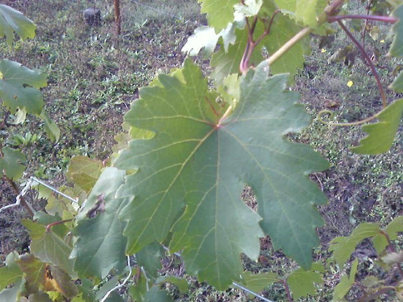 Виноград фавор - мир винограда - сайт для виноградарей и виноделов
