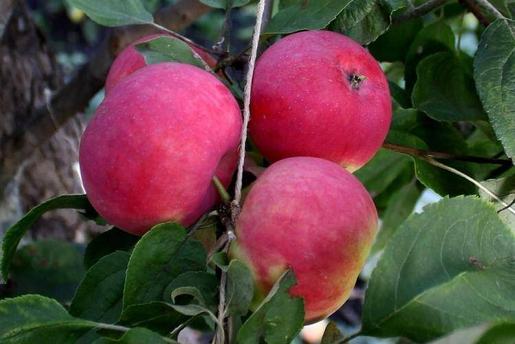 Сорт яблок малиновка описание - дневник садовода flowersdi.ru