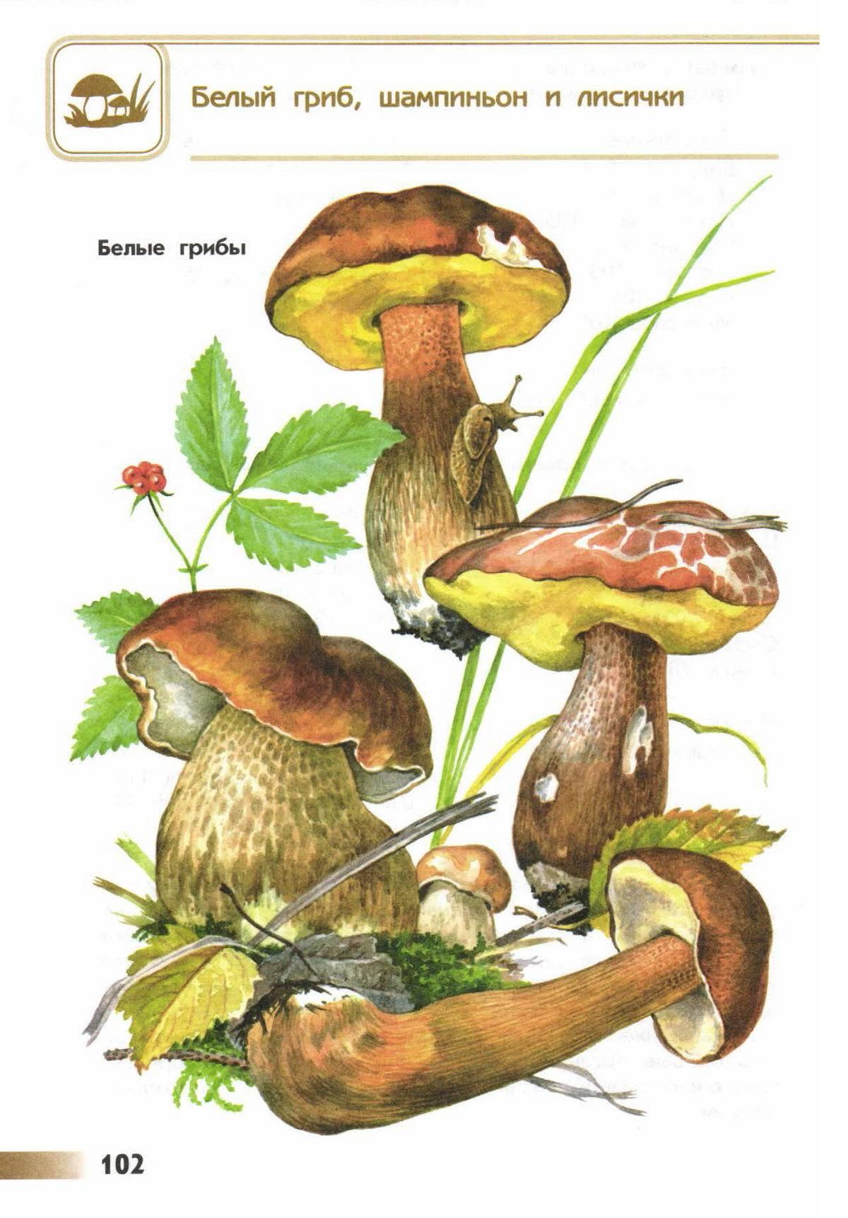 Белый гриб: особенности и перспективы выращивания в промышленных масштабах (105 фото)