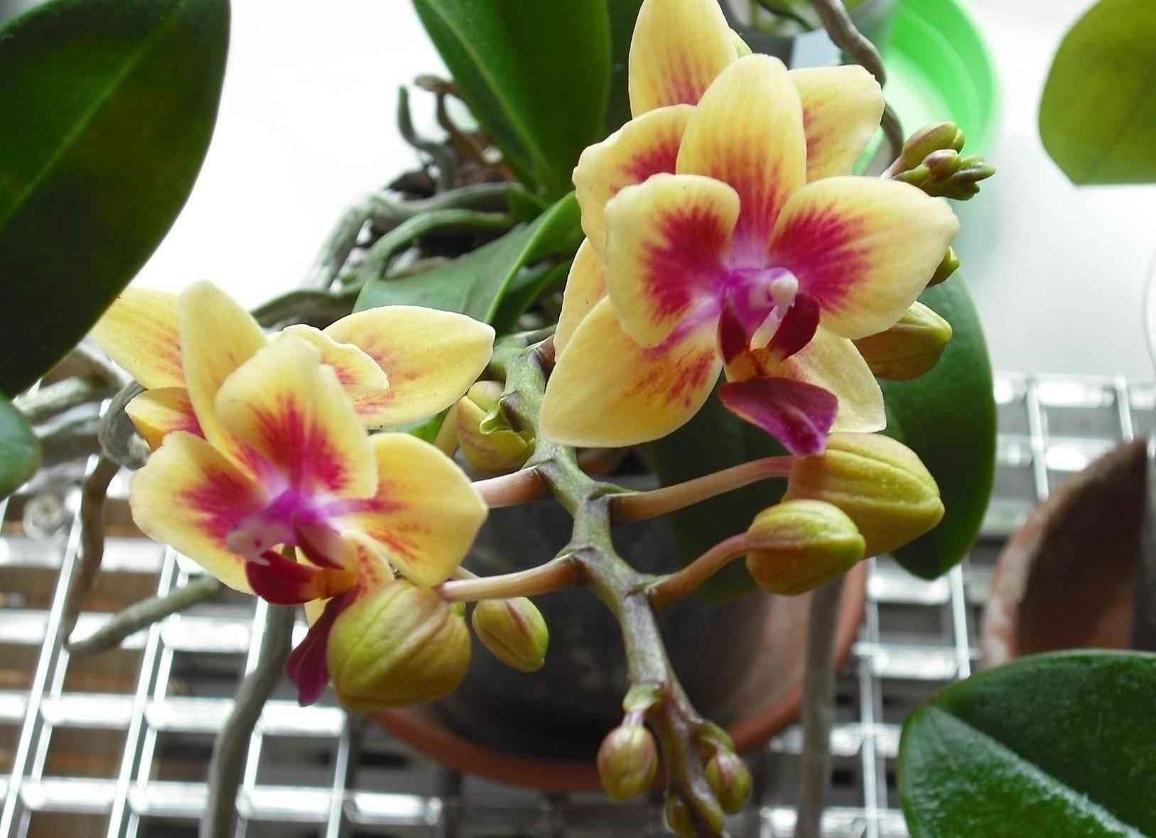 Почему не цветет орхидея в домашних условиях: советы и методы решения проблемы