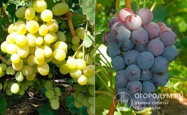 Описание виноградного сорта кардинал