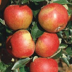Яблоня сладкая нега: описание сорта и характеристики, регионы выращивания с фото