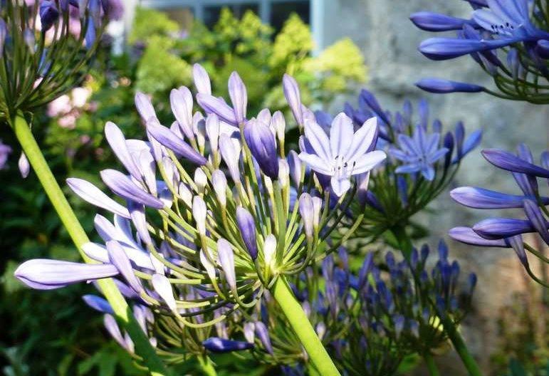 Агапантус в открытом грунте | во саду и в огороде