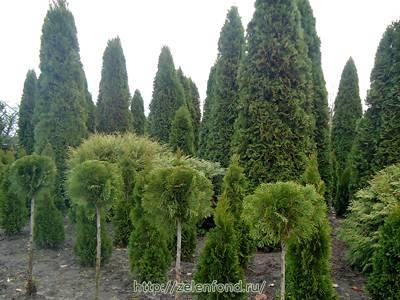 Туя смарагд - особенности выращивания на приусадебном участке