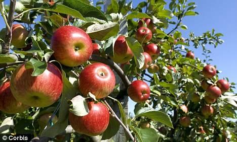 Болезни ствола яблонь и их лечение: самые прогрессивные методы