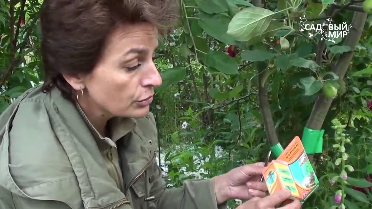 Когда и чем обрабатывают яблони от плодожорки
