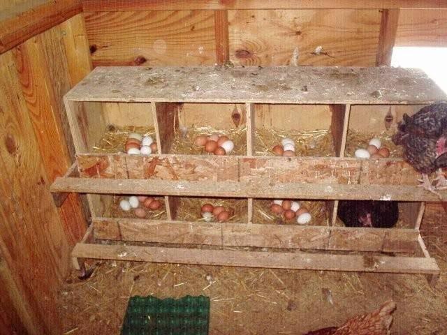 Размер гнезда для курицы несушки: своими руками, фото и чертежи, видео