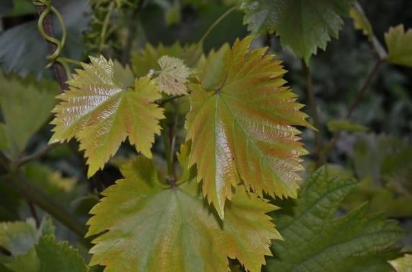 Желтеют листья винограда: почему, что делать, чем обработать