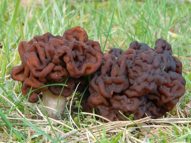 Гриб строчок - 80 фото крайне ядовитого и очень опасного гриба