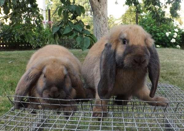 Подробные характеристики кроликов французский баран: разведение породы
