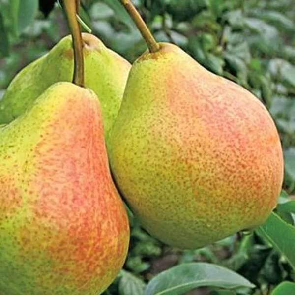 Сорт груши есенинская: вкусные фрукты с урожайного дерева