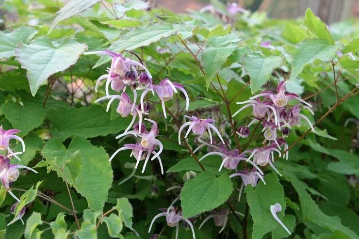 Горянка общие сведенья о растении - горянка юнга, горянка крупноцветковая
