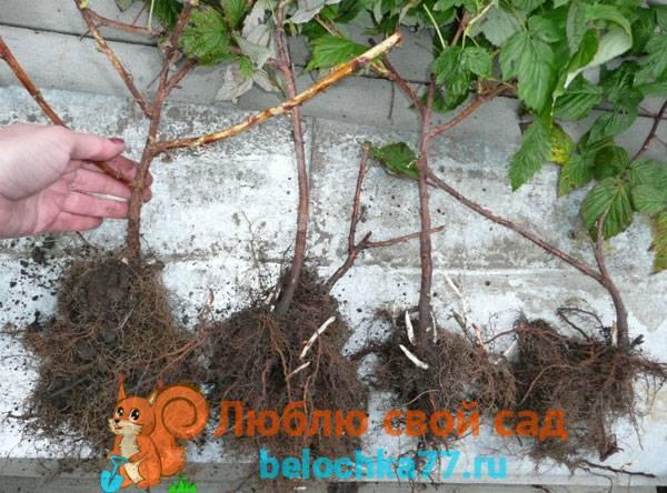 Правильная посадка малины осенью и подготовка к зиме