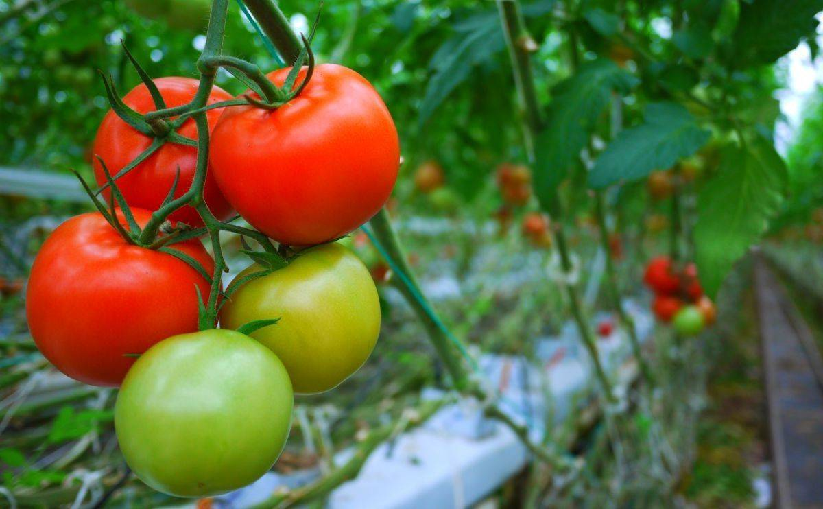 Посадка томатов по 2 штуки в одну лунку – отзывы, видео, как сажать по 2 корня, инструкция