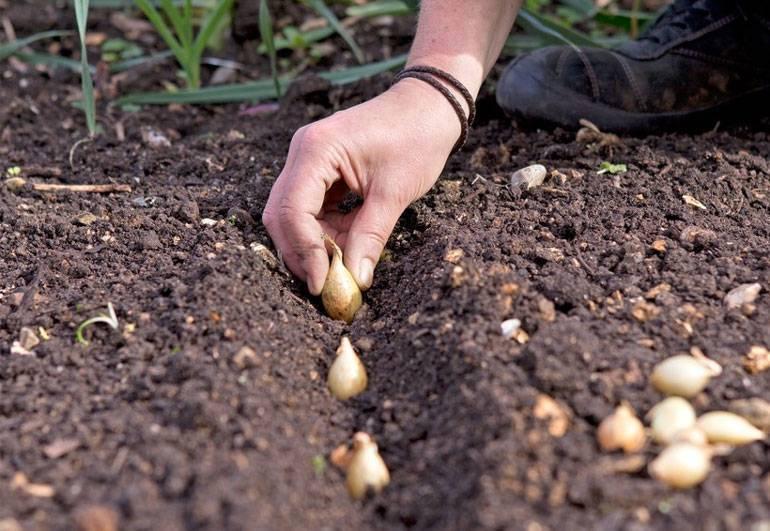 Как и когда сажать лук-севок: правила и способы посадки | спутниковые технологии