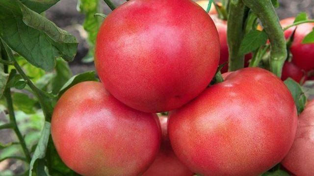 Помидоры малиновое чудо - характеристики сортов, выращивание из семян