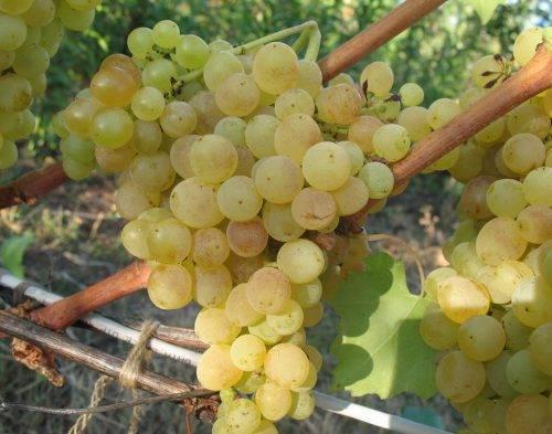 Виноград сорта зарница - мыдачники