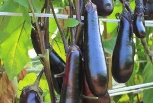 Томат самурай: описание и характеристика сорта, урожайность с фото