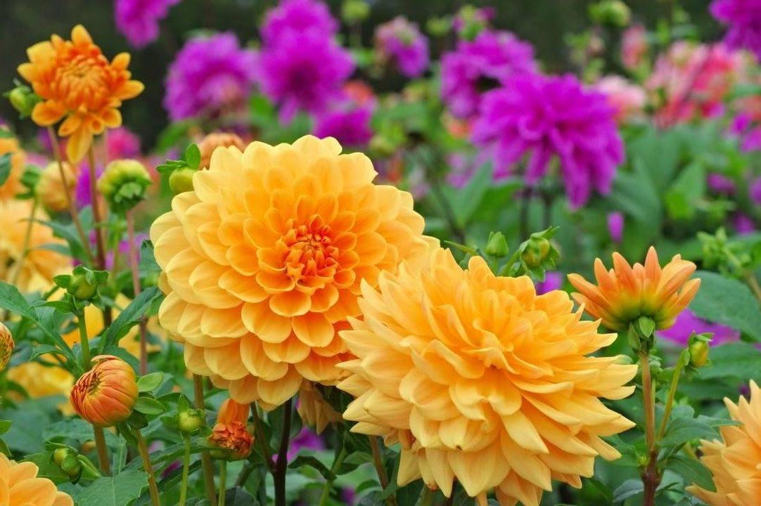 Правила посадки однолетней георгины и ухода за цветком