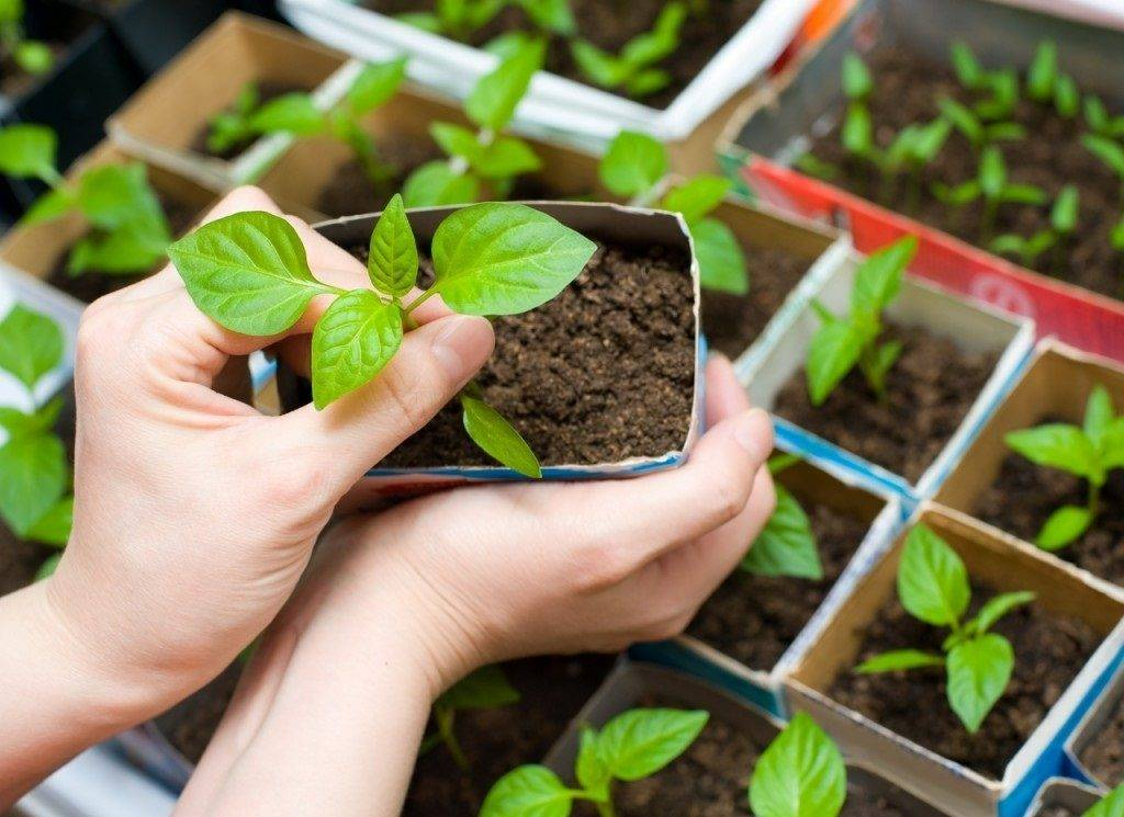 Посев и выращивание рассады астры, мастер-класс с фото на supersadovnik.ru