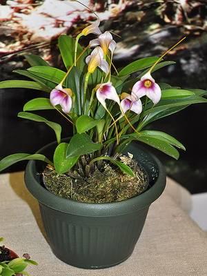 Сорта орхидей: мильтассия, масдеваллия, макодес, моника, фото и видео