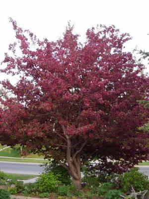 Яблоня декоративная краснолистная - 10 сортов в ландшафтном дизайне с красными листьями для подмосковья, красная и розовая спринг брайд