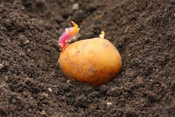 Как правильно сажать картофель: советы новичкам