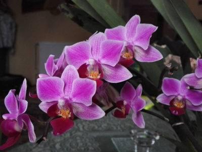 Сорта фаленопсисов: клеопатра, kendall, compilation, qwirkle, описание орхидеи с фото