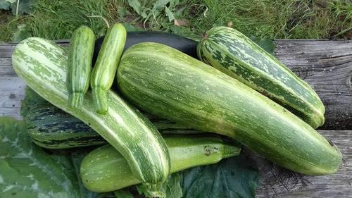 Кабачок: выращивание из семян рассадой, посадка и уход и в открытом грунте, фото