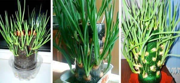 Выращивание зелени лука, петрушки, укропа, базилика, кинзы в домашних условиях | россельхоз.рф