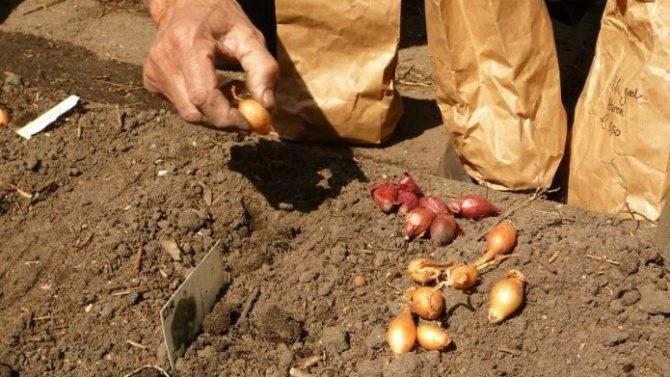 Рекомендации по посадке лука осенью под зиму на урале и в сибири