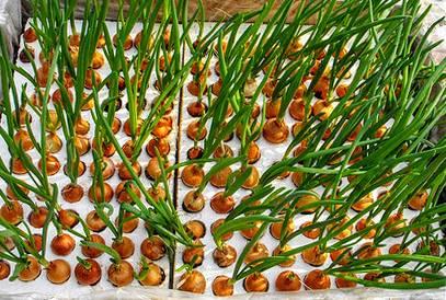Выращивание лука методом гидропоники: описание — selok.info