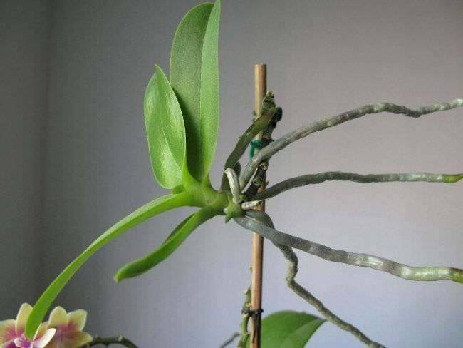 Как вырастить детку орхидеи: сроки, стимуляция, процедура отделения и дальнейший уход + распространенные проблемы
