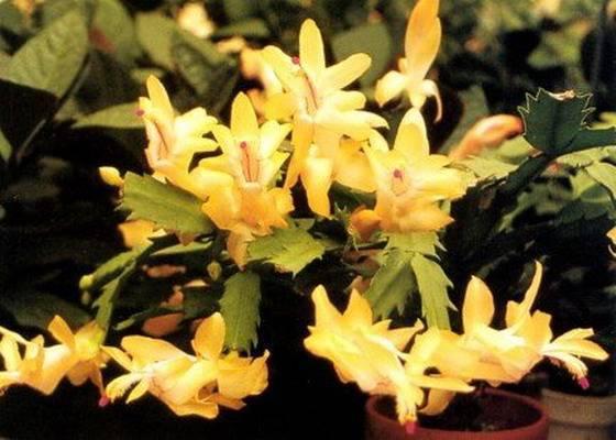Выращивание шлюмбергеры и основные проблемы с цветением